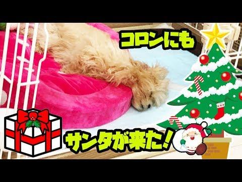 【クリスマスプレゼント】プレゼントは何かな?犬のコロンにもサンタが来た!!(まったり動画です)【しほりみチャンネル】