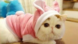 Экзоты котята няшки, Породы кошек