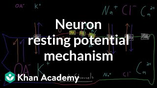 Neuron resting potential mechanism