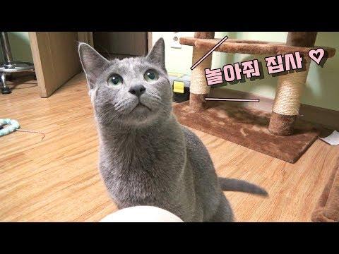 놀아달라고 끄응끄응 거리는 고양이 -Russian blue 레이-