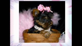 Yorkshire Terrier Baby Doll Face