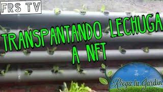 Trasplantando Lechugas a Sistema Hidroponico Nft