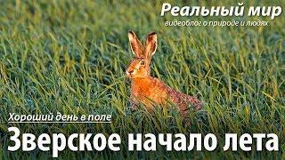 Зверское начало лета. Лоси, косули, лисы, зайцы, журавли, чибисы и другие.