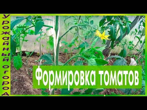 Как формировать томаты в два стебля видео