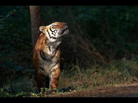 Roar of tiger in Forest of Jim corbett national park  Ramnagar Nainital  Uttrakhand India