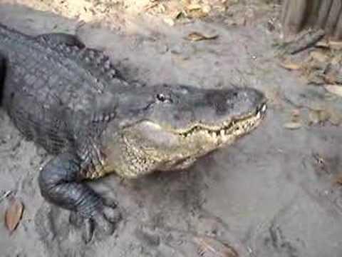 Alligator Bellow