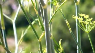 Fennel, Foeniculum vulgare, San Diego, California