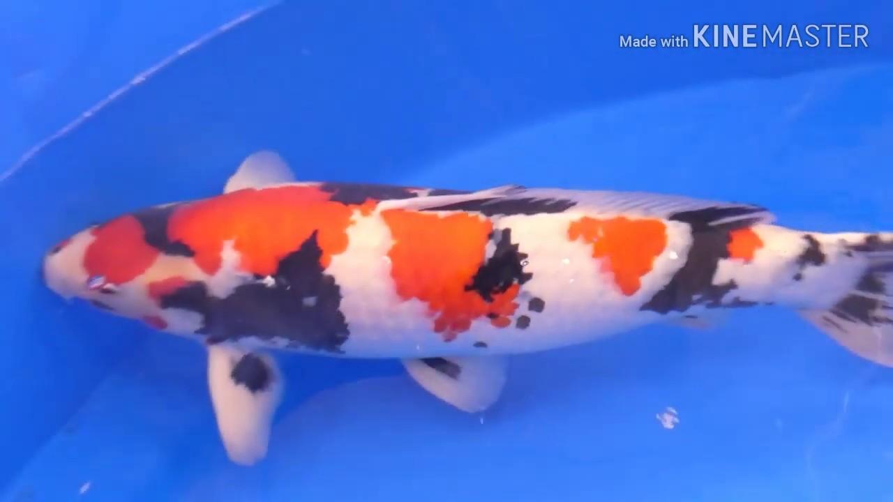 Ikan Cupang Juara Dunia