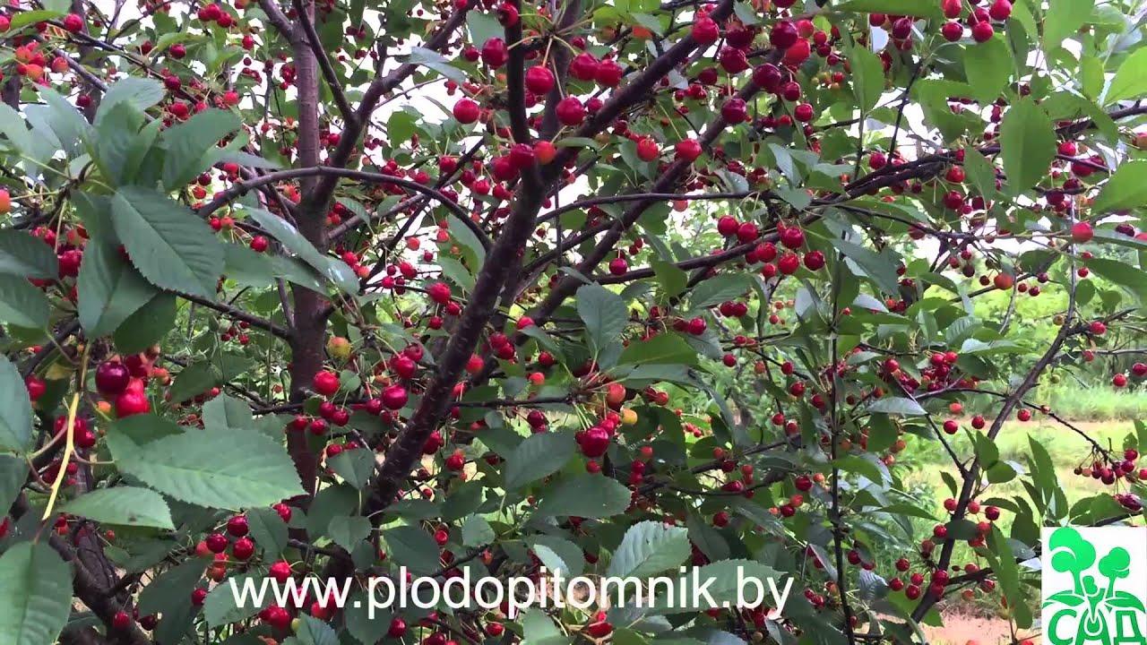 Саженцы вишни и плодоносящие деревья 3-12 лет в магазине elki. Vtapkah. Продажа, доставка и посадка вишни на участке клиента. Гарантии!