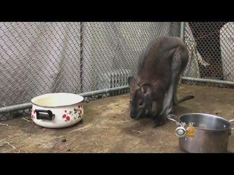 Wallaby Found In Long Island Garage