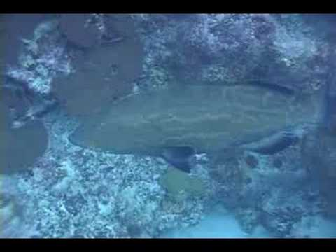 Bermuda Black Grouper