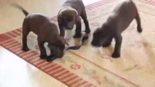 Chocolate Lab Puppies For Sale