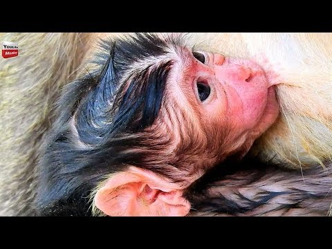 Just one hour for giving a birth/ new Born Still Wet mum with Blood Youlike Monkey 1332