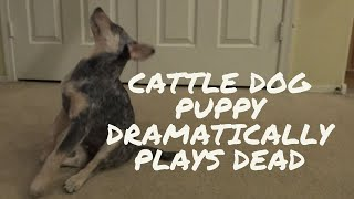 Cattle Dog Puppy Dramatically Plays Dead