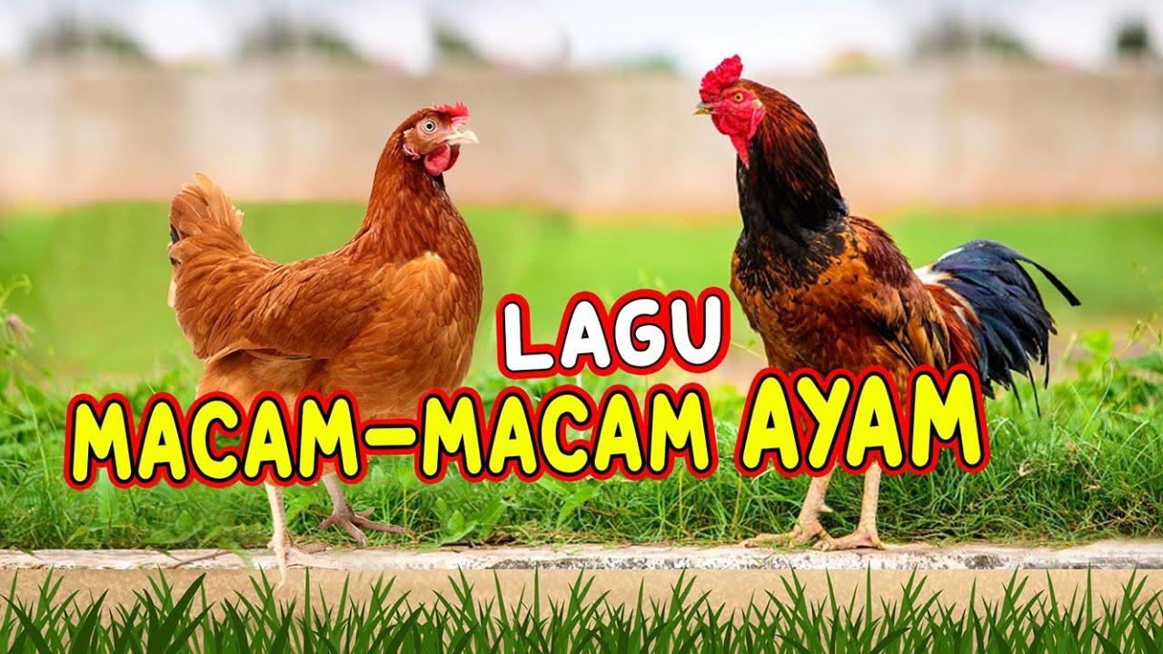 Download LAGU MACAM-MACAM AYAM I AYAM ALE