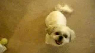 Kiwi - Cute Shih Tzu - Dog Tricks