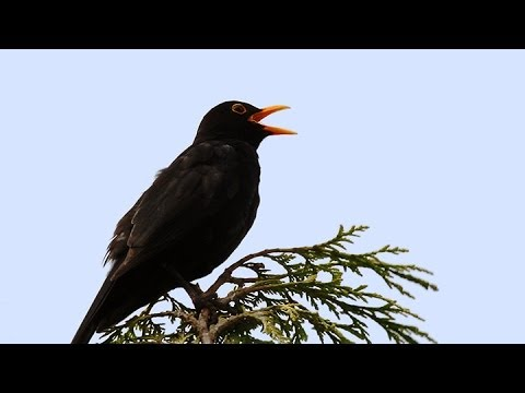 Song and calls of the Blackbird