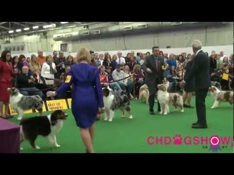 137th Westminster dog show Australian Shepherd BOB .mp4