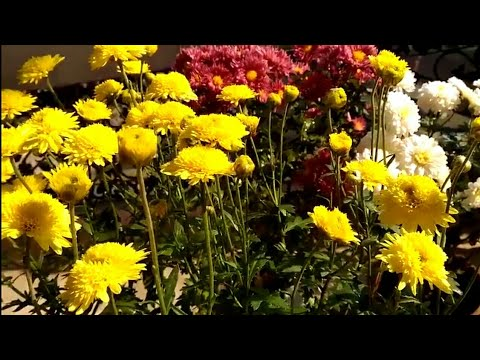 7.Chrysanthemum plant care :( How to grow healthy and  best quality mums flower)