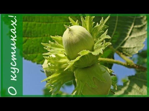 Лещина обыкновенная (фундук) в саду весенняя обрезка фундука.