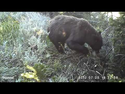 Mountain Lions Versus Black Bears