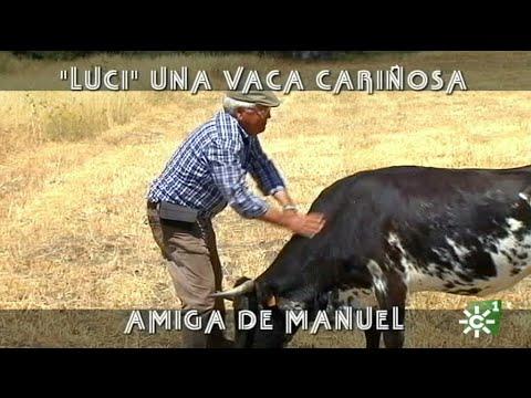 Luci, cariñosa vaca brava criada a biberón por Manuel Gavira de Puerto Banús | Toros desde Andalucía