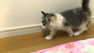 愛猫リリィの子猫時代の動画です。 お迎え初日、お部屋探検中。 ブログ...