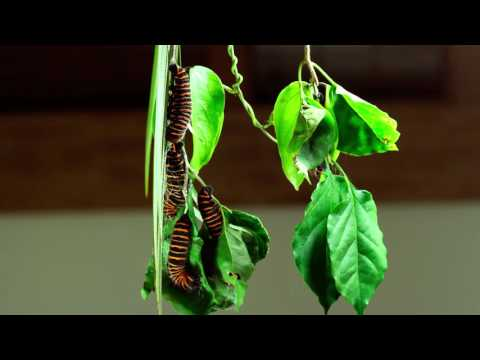 Rothschildia arethusa, caterpillars building the cocoon (pt1) HD