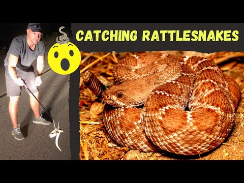 Catching Rattlesnakes! Lizards Fighting! Cute Box Turtle, Corn Snake, Gopher Tortoise, And MORE!