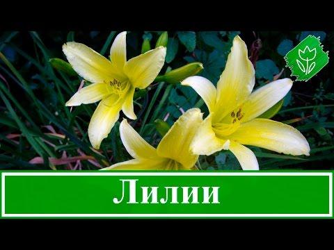 Цветок лилия: посадка и уход, фото, выращивание и сорта ...