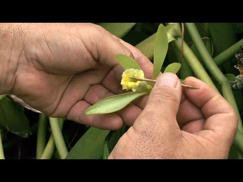 Comment polliniser la fleur de vanille?