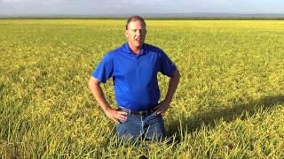 California Rice nearing harvest