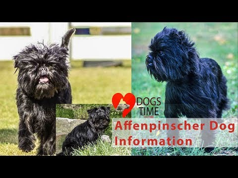 Affenpinscher Dog Information Introduction Temperament History & Health Appearance  & Grooming 2018