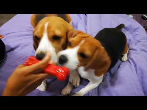 Our Chewing Monsters II Beagles Chomping II ASMR Dogs Chewing