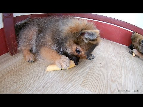 Pomeranian puppies biting real bone for first time