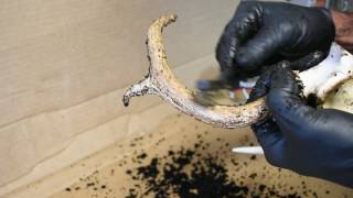 How To Restore Old Deer Antlers