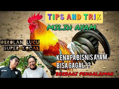 guyonan-jowo-ngapak-lucu-trik-dan-tips-sukses-usaha-bisnis-ayam-unggas-dan-cara-memilih-ayam