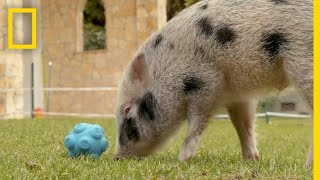 Pigs Communicate With Humans in New Experiment | National Geographic