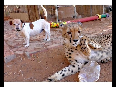 African Cheetah Teenager Versus Jack Russell Terrier Part (2) | Big Cat & Dog Tussle A Year Later