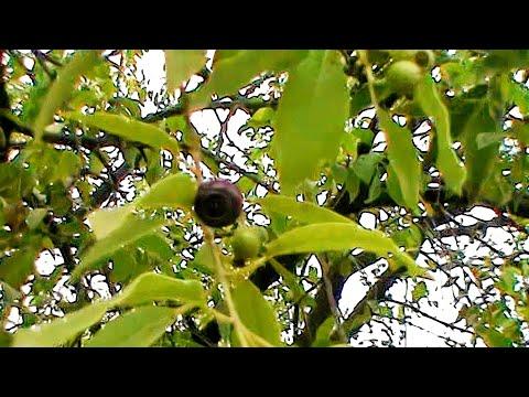Fruit of Indian sandalwood or Chandan tree ,Santalum album,Holy Tree of India