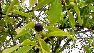 Fruit of Indian sandalwood or Chandan tree ,Santalum album,Holy Tree of India