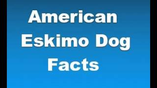 American Eskimo Dog Facts - Facts About American Eskimo Dogs
