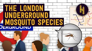 Why There's a Unique Mosquito Species in the London Underground