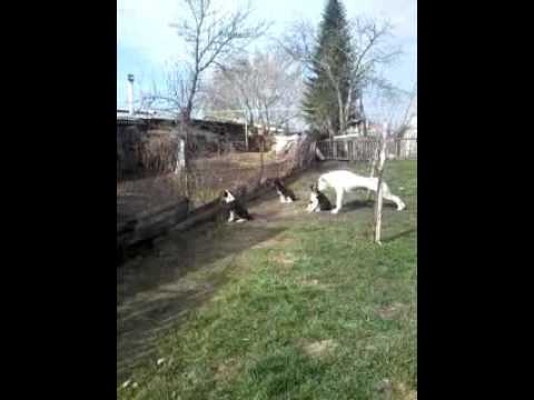 Щенки алабая охраняют территорию)))