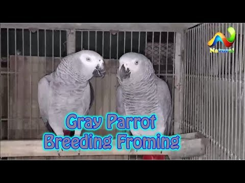 Gray Parrot Breeding Froming | Alexander and Ringneck Parrot Breeding