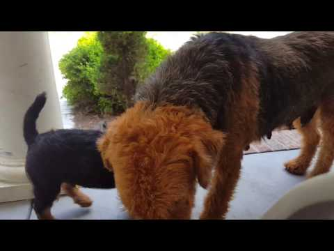 airedale-terrier-puppies-sale-video---s-&-s-family-airedales---front-porch-with-my-airedales