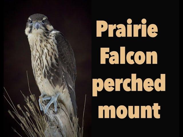 Prairie falcon Taxidermy. Table top mount, Art of Bird Taxidermy.