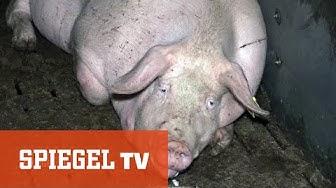 Arme Sau -  Schweine für den Discounter