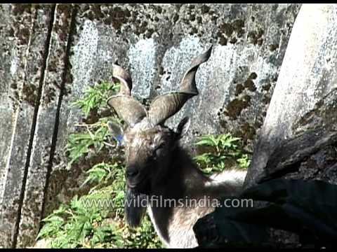 Markhor- the national animal of Pakistan