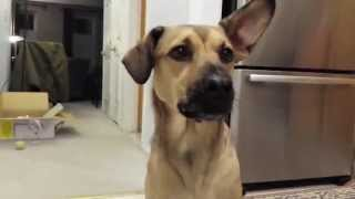 "How To Teach A Dog To Speak English! Lexi Learns How To Talk And Say ""hello""!"